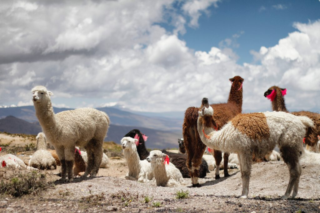 Alpacas Perú
